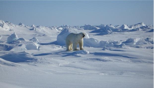 polar-bear-529659